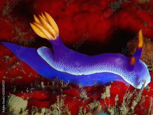 obraz PCV Hypselodoris apolegma is a species of colourful sea slug or dorid nudibranch, a marine gastropod mollusk in the family Chromodorididae.