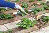 The gardener puts the mulch under the strawberry. A hand gardener in a glove against a background of plants in the garden, organic farming for a vegetarian diet.
