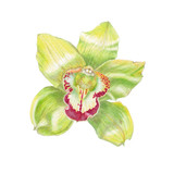 Watercolor illustration, holiday card with a flower. Realistic botanical drawing of yellow orchid close up on white background.