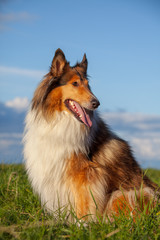 The Rough Collie in the park © Nikolai Tsvetkov