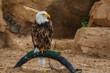Locked Bald eagle in zoo.  Bald eagle in captivity