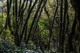 Garajonay National park in La Gomera, Canary islands, Spain. Green, moss, jungle mystic forest