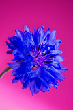 Blue fresh cornflower