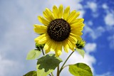 Single sunflower under the cloudy blue sky, close-up