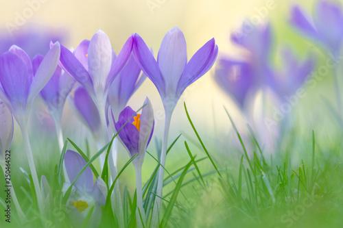 Blühender Krokus auf grünen Wiese. Krokus im Frühling. Frühlingserwachen.  - 250464522