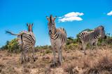Three zebras over blue cloudy sky background