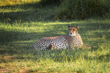 Fototapeta Sawanna - Cheetah in a green grass, South Africa © javarman