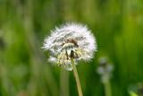 Pusteblume (Taraxacum sect. Ruderalia) vor Wiese - 250486522