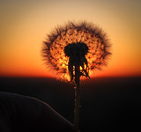 Dandelion in the sunset rays