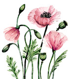Flowers pink poppies, watercolor painting for greeting card, wedding invitation, summer wed design, holiday decoration. Isolated on white background.