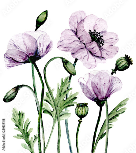 Flowers violet poppies, watercolor bouquet for greeting card, wedding invitation, summer wed design, holiday decoration. Isolated on white background.   - 250539183