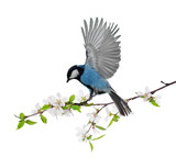 cherry tree blossoming branch with blue tit