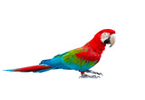 side view full body of scarlet ,red macaw bird standing isolated white background - 250600910