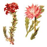 left Red Crassula (Crassula coccinea) and right fishbone cactus (Phyllocactus anguliger) / vintage illustration