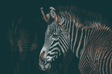 Spectacular portrait of a zebra. Animal