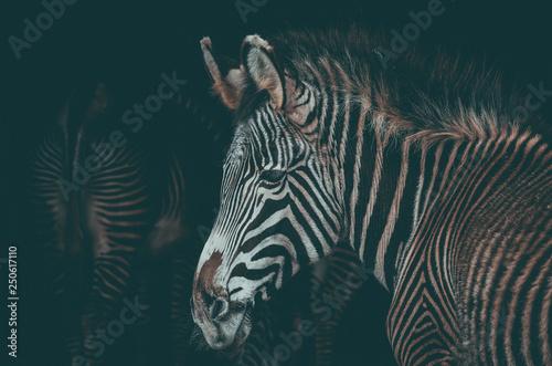 Spectacular portrait of a zebra. Animal - 250617110