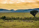 Herds of zebras in the Ngorongoro Crater, Tanzania