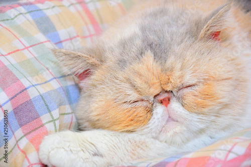 Leinwanddruck Bild exotic persian cat