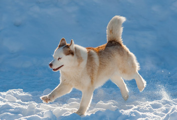 Beautiful husky dog running in winter day © Mari_art