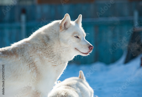 White siberian husky in winter © Mari_art