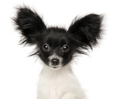 Close-up of Papillon Continental Toy Spaniel puppy
