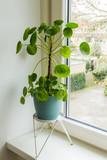 Pilea peperomioides, money plant. Home interior. Windowsill.
