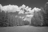 Infrared view of pine trees forest