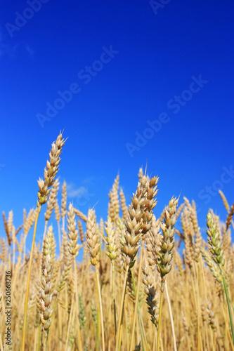 obraz lub plakat Ripe rye ears in a field