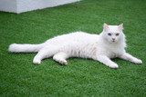 White cat with heterochromia lying on grass and looking to the front