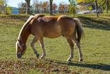 Pferd Haflinger Gestüt in Meura Thüringen
