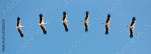 Storks flying in blue Sky - 250682538