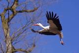 Cigogne blanche construisant son nid