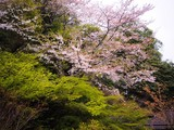 Cherry blossom (sakura) tree and green maple tree in Japanese garden, Okayama, Japan