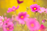 Fototapeta Kosmos - Cosmos flowers (Cosmos bipinnatus) in the garden. Selective focus and shallow depth of field. © ekim