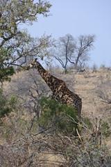 Giraffe im Kruger Nationalpark in Südafrika
