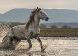 Fototapeta Konie - the old horses run out of lake, freedom © dolkan