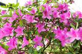 Azalea bush in a botanical garden