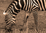 Zebra, is the largest extant wild equid and the largest and most threatened of the three species of zebra, the other two being the plains and the mountain zebra.