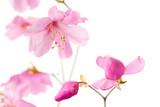 Japanese azalea (Rhododendron pentaphyllum var. nikoense) 'akayashio'