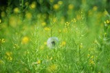 lonely dandelion light and airy stands in the meadow