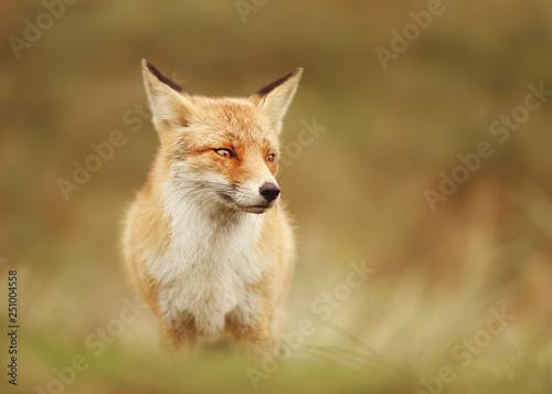 Leinwandbild Motiv Portrait of a Red fox in the meadow.