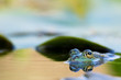 frog with reflection