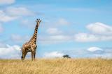 Fototapeta Sawanna - Masai Giraffe watching critically © Daniel