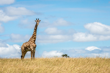 Masai Giraffe watching critically