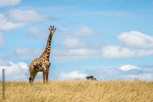 Masai Giraffe watching critically © Daniel