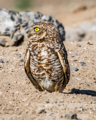 Burrowing Owls of the plains in Washington State near Othello