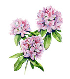 Tropical rhododendron flower watercolor isolated on white. Interior artwork with pink azalea flowers. Exotic plants illustration.