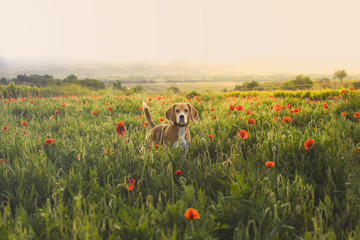 Beagle dog on a meadow of wildflowers and poppies.