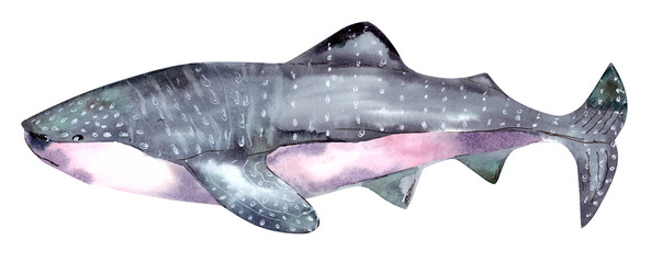 sharp tiger watercolor isolated on white backgrounde. Watercolor Whale hand painted illustration isolated on white background. Realistic underwater animal art. © illustratrice Manu
