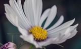 Charming daisy in macro photography